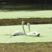Green Pond Swans