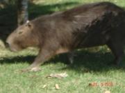 DSC06558 capivara em Barueri