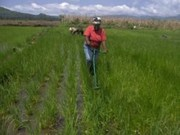 July 2014: Weeding with the new rotary weeders