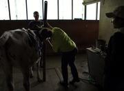 Heifer Weighing