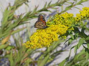 Goldenrod in the sand