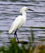 It was a cold and Snowy Egret Day