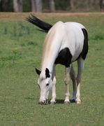 Black Ears, White Mane, Black Tail