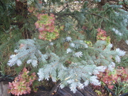 Autumn behind the Blue Spruce