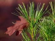 Leaf in Pines