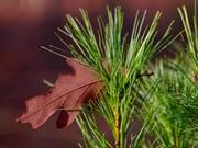 Leaf in Pines