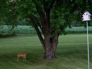Wild Deer in Rural Wisconsin