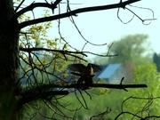 Mourning Doves Making Love