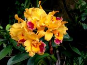 Orchids of Light