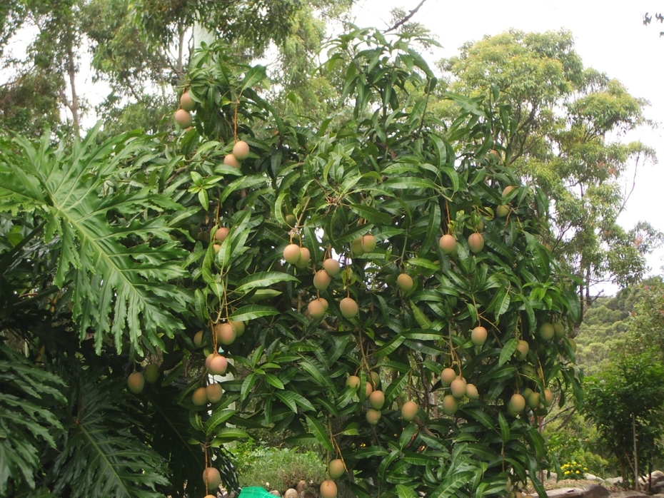 Mangoes ready to harvest