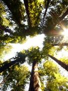 redwood-tree-tops-piercy