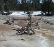 Tree roots, Yellowstone, April 2014