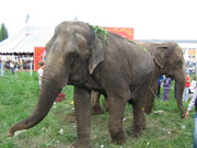 A cirkuszi elefantok 26.04.2010 006