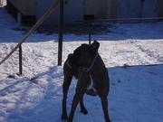 Alma-Eta boxer kutyusom a hoban