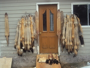 last of my fur that has gone to NAFA hung on he fur shed