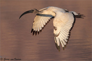 Sacred Ibis...on the wing
