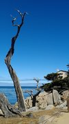 Ghost Tree_Carmel by the Sea