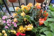 Begonias and petunias