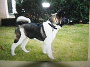 My little wolf dog Tuffy