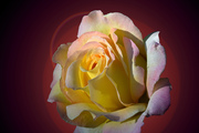 Sunrise Rose