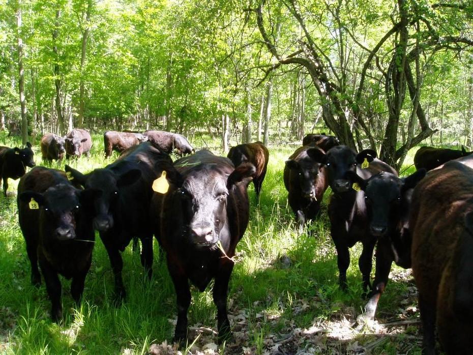 cows in new silvopasture area