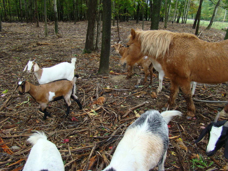 mixed livestock exploring newly created silvopasture