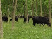 cattle in locust silvopasture june 2012