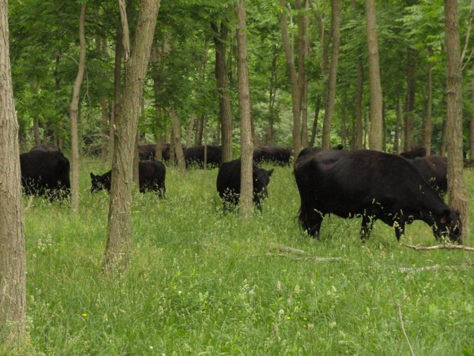 cattle in locust silvopasture june 2012