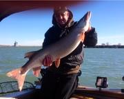 "43"" harbor fish 11/20/13"