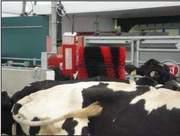 Cows_Arrive4
