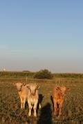 Cattle Herd 2012