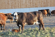 Limousin/Hereford Cow & Calf