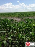 Minnesota Corn 2