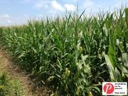 Indiana Corn 3