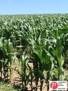 Nebraska Corn