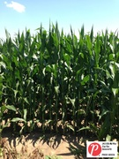 Iowa Corn 1