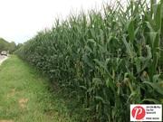 Ohio Corn 1