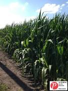 Iowa Corn 4