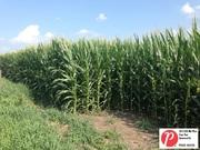 Indiana Corn 1