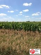 Iowa Corn 3