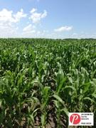Minnesota Corn 1