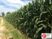 Michigan Corn 2