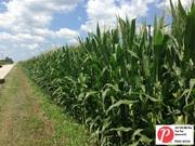 Indiana Corn 2
