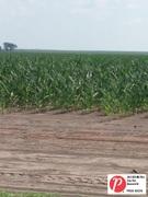 Illinois Corn 2