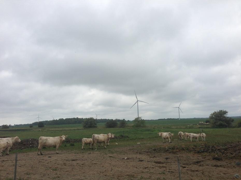 Charolais cattle