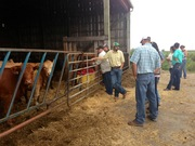 Looking at the feedlot cattle