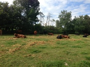 Bob Wilson's cows laying comfortably in the pasture
