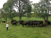 Bob Wilson's cows