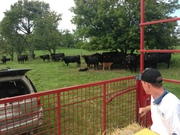 Looking at the cows