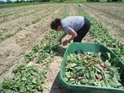 Radishes harvesting